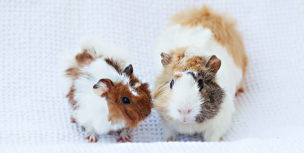 News And Events Orange County Cavy Haven A Guinea Pig